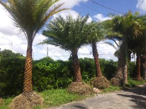 Phenix Sylvester palm for Sale in Princeton, FL