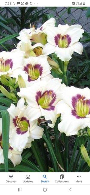 7 Pandora Box Day Lilies for Sale in Murfreesboro, TN