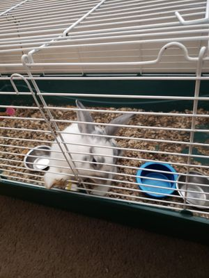 Female rabbit for Sale in Evansville, IN
