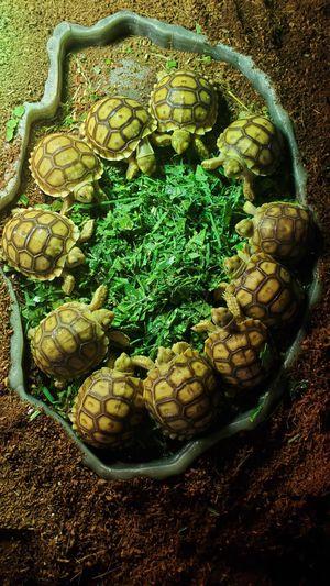 Baby sulcata tortoises for Sale in Maricopa, AZ