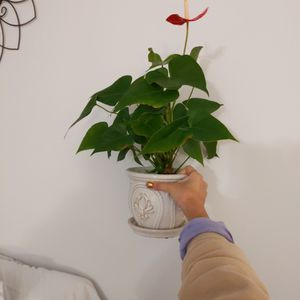 "Healthy Anthurium Plant + 6"" White Ceramic Pot for Sale in Arlington, VA"