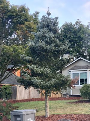 FREE- Christmas Pine Tree for Sale in Bothell, WA