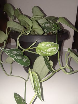 Nice, potted plant for home! Please! for Sale in Grand Prairie, TX