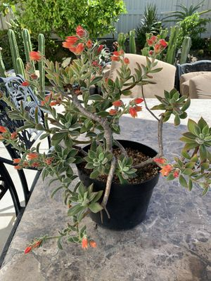 Beautiful succulent plant for Sale in Spring Valley, CA