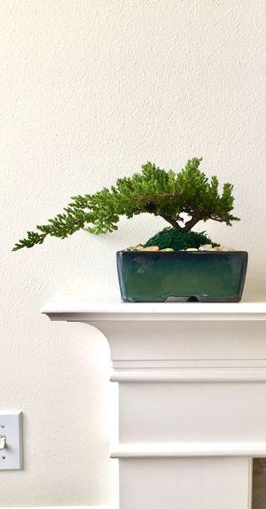 Beautiful shape! Live Japanese Juniper Bonsai tree, outdoor plant, indoor plant, Bonsai art, zen home decoration, cool gift idea for Sale in Everett, WA