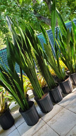 3-4 feet tall Snake plants. Can be indoors or outdoors. $20 each for Sale in Deerfield Beach, FL