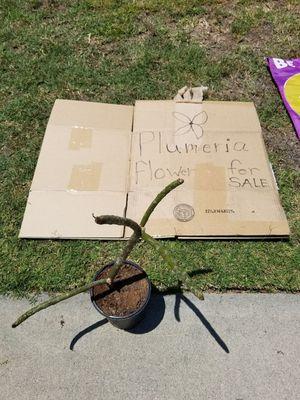 Plumeria flower for Sale in Long Beach, CA