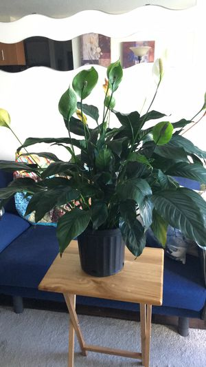 Large Peace Lily for Sale in Miami, FL
