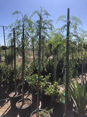 Pepper tree 15 galones for Sale in Perris, CA