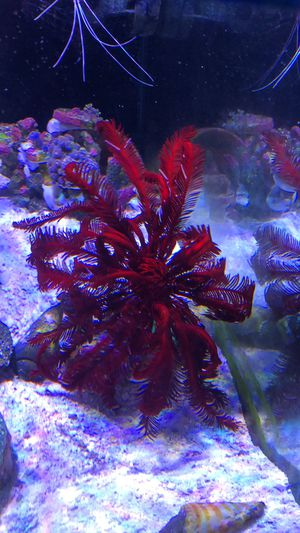 Aquarium star for salt water for Sale in Los Angeles, CA