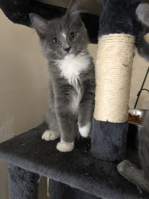 Kitten 4 months old for Sale in Manassas, VA