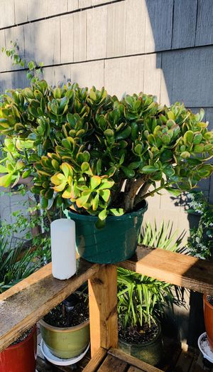 Live indoor large Jade tree plant in a plastic nursery planter pot—firm price for Sale in Seattle, WA