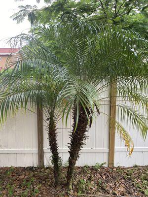 Pygmy date palms b&b for Sale in Merritt Island, FL