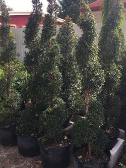 Spirals Topiaries In 7 gls Pot SPECIAL PRICE !🤩 for Sale in Miami,  FL
