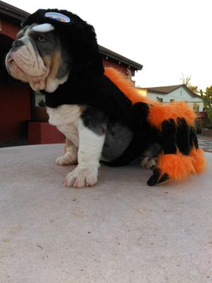 Pet costume for Sale in Phoenix, AZ