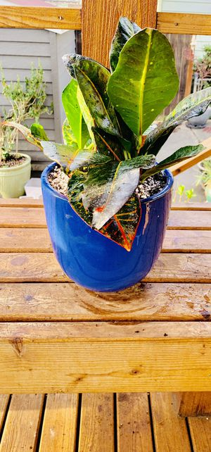 Live indoor Croton Petra plant in ceramic planter flower pot—firm price for Sale in Seattle, WA