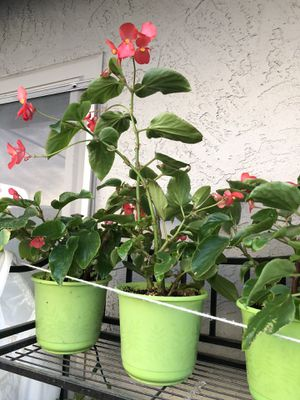Dragon Wing Begonia blooming for Sale in Antelope, CA