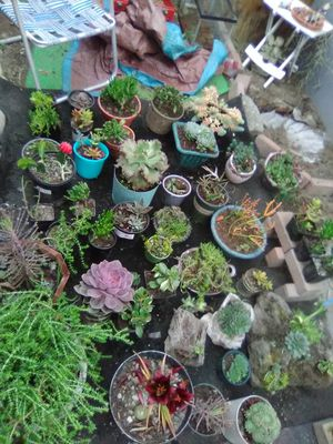 Hen's n chick's and other assorted succulents. $2 for chick's n hen's $5 for others we for Sale in Tacoma, WA