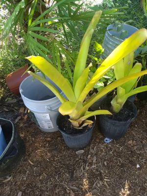 Bromeliads for Sale in Port Charlotte, FL