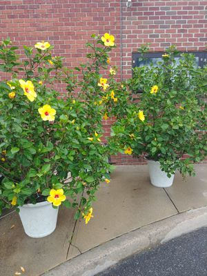 HIBISCUS PLANTS for Sale in Great Neck, NY