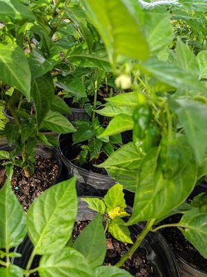 Habanero plants for Sale in Wimauma, FL
