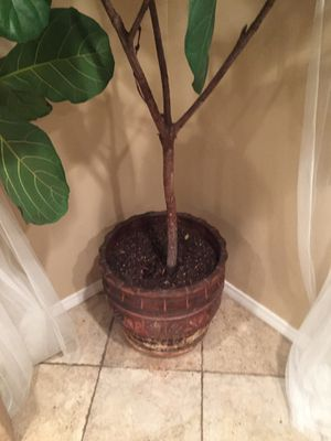 Beautiful fiddle leaf fig tree plant $ 85. for Sale in San Diego, CA