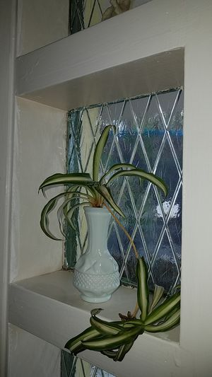 Window sill buddies. Spider plants for Sale in Fort Lauderdale, FL
