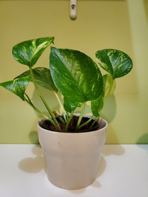 Small Plants - Pothos, Wandering Jew, Dumb Cane for Sale in Chicago, IL