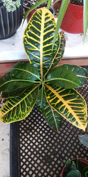 Croton plant $4 for Sale in San Marcos, CA