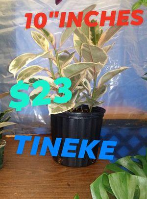 Tineke for Sale in Woodburn, OR
