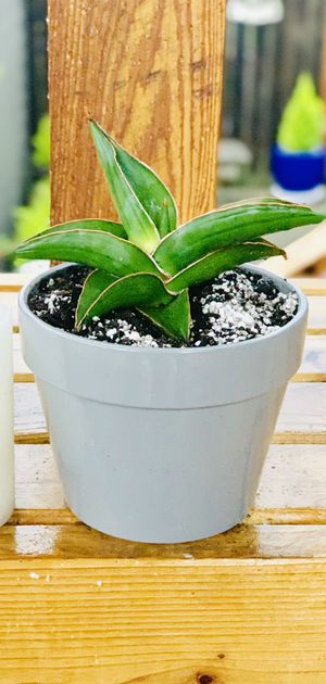 Live indoor Sansevieria Samurai Dwarf (Snake) plant in a ceramic planter flower pot—firm price for Sale in Seattle, WA