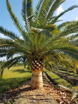 Canary Date Palm for Sale in Hialeah, FL