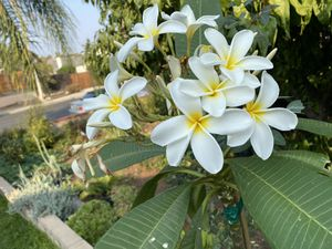 Plumeria plant 🌱, rooted, 15 gallons pot, 4 feet tall, $65 each for Sale in Ontario, CA