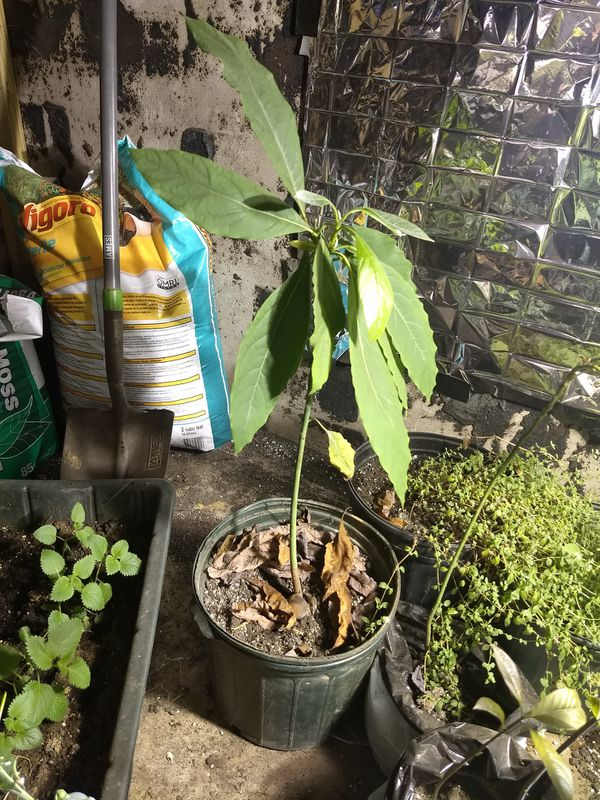 Avocado tree lemon balm or Jamaican yellow pepper plants