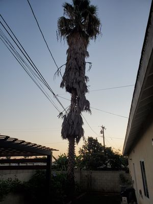 FREE PALM for Sale in Whittier, CA