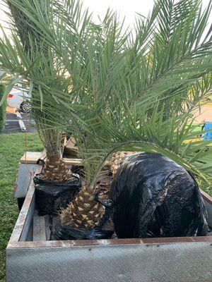 Palm tree field grown 1 ft of trunk for Sale in Pembroke Pines, FL
