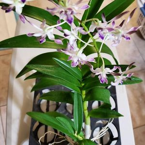 Dendrbium Blue Twinkle Orchid Flower Pot for Sale in Santa Ana, CA