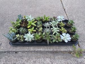 Succulents for Sale in Glenn Heights, TX