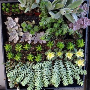 Succulents And Cactus In 2inch Pots For Only $3 Or Buy 10pcs Get 2pcs Free for Sale in Lathrop, CA