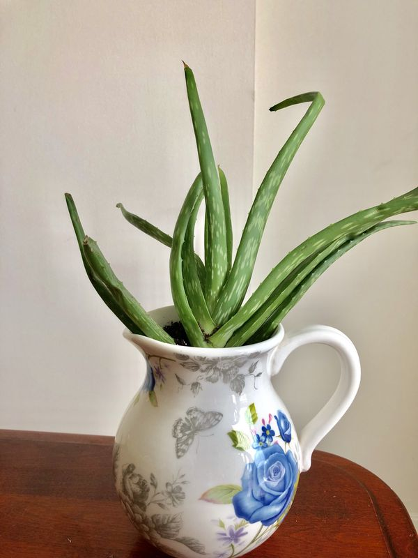 Aloe Vera Succulent - Silver Spring (Pick Up Only)