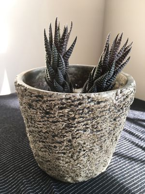 Succulent and Planter for Sale in Frederick, MD