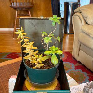 Succulent for Sale in Everett, WA