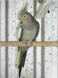 Cockatiel for sale female bird with cage for Sale in Pembroke Pines, FL