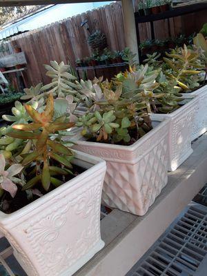 "Succulent plants in a white ceramic vase 6""X6"" $12 each pot for Sale in Anaheim, CA"