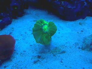 Coral Frags Aquarium for Sale in Sunrise, FL