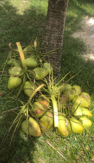 Fresh Cut Super Sweet Lakeside Grown Coconuts for Sale in Miami Lakes, FL