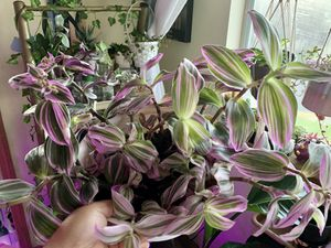 Nanouk pink Tradescantia plant cuttings available for Sale in Federal Way, WA