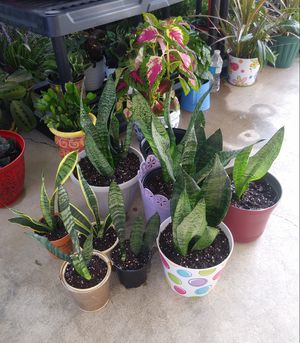 Mother in laws tongue-snake plants$10-$18 each pot for Sale in St. Louis, MO