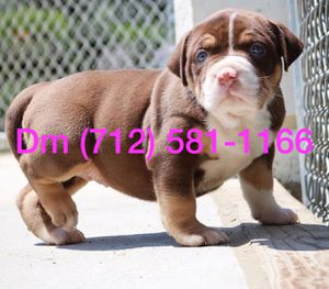 Puppys for Sale in Los Angeles, CA