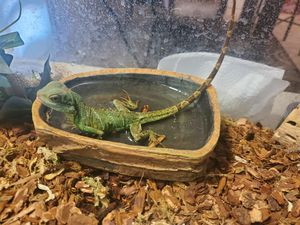 Chinese Water Dragon accessories for Sale in Laveen Village, AZ